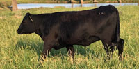 80 Angus Bred Heifers... Central OK