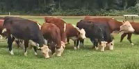 13 Reg. Black Hereford Rep. Heifers... Northwest AR