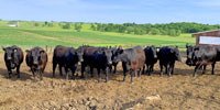 15 Angus Bred Heifers... Central IA