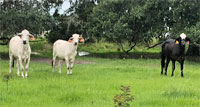 20 Brahman Cross Bred Heifers... Central FL