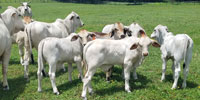 30 Brahman Cows w/ 15+ Calves... Northern FL