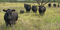 20 Angus 1st-Calf Heifers w/ 5+ Calves... W. Central TX