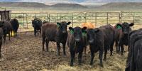 23 Angus Bred Heifers... Northwest WY ~ FD