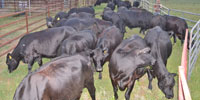 19 Reg. Angus Cows w/ 4+ Calves... East TX