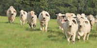 22 Reg. Brahman Bred Heifers... East TX