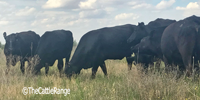 15 Brangus & Brangus Baldy Cows... TX South Plains