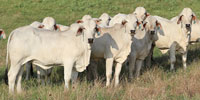 33 Reg. Brahman Rep. Heifers... East TX
