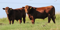 5 Reg. Red Angus Bulls... S. Central TX