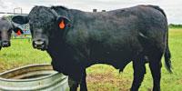 1 Brangus Bull... N. Central TX