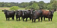 14 Brangus Bred Heifers... East TX