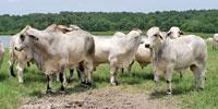 10 Reg. Brahman Bulls... Southeast TX (1)