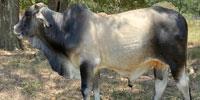 1 Brahman Bull... East TX