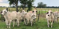 14 Reg. Brahman Bred Heifers... Southeast TX