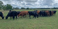 45 Open Angus & Red Angus Cows... Northwest AR