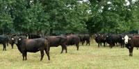 90 Angus & BWF Bred Heifers... Southwest MO