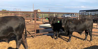 3 Brangus UltraBlack Bulls... TX South Plains