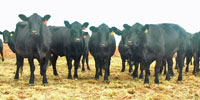 20 Angus Cross Cows... E. Central NM