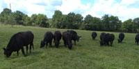 12 Angus Bred Heifers... E. Central OK