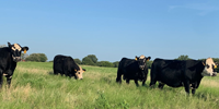 27 Angus & BWF Cows... North TX