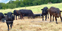 15 Brangus & Brangus Cross Rep. Heifers... Southeast TX ~ PI-N