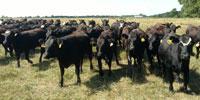 75 Angus & BWF Bred Heifers... Southwest MO