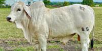 1 Brahman Bull... Southeast TX (1)