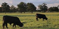 3 Brangus Baldy Bred Heifers... Southeast TX