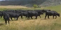 97 Angus Bred Heifers... E. Central WY