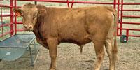 12 Reg. Akaushi Bulls... TX Panhandle