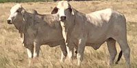 25 Brahman Cows... Central TX