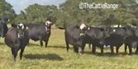 132 Angus, Brangus, & BWF Cows w/ 20+ Calves... Central TX