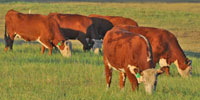 21 Horned Hereford 2nd-Calf Cows... Central TX
