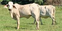 12 Purebred Brahman Cows... East TX