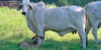 32 Purebred Brahman Cows... East TX