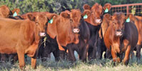 32 Red Angus Bred Heifers... Central TX