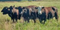 40 Angus & BWF Cows... Southwest MO (1)