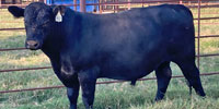 6 Reg. Angus Bulls... North TX