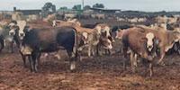 150 Braford/Tigerstripe Rep. Heifers... N. Central TX (1)