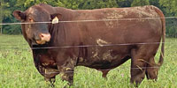 3 Reg. Red Angus Bulls... Northwest MO
