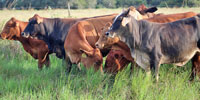 34 Brahman Cross Rep. Heifers... S. Central TX