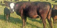150 Angus Cows... Southwest AR
