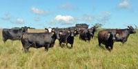 120 Angus & BWF Cows... Southwest MO (1)