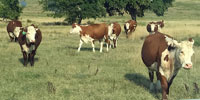 30 Hereford Cows... Central OK
