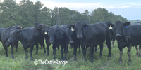 25 Angus/Brangus 1st-Calf Heifers w/ 7+ Calves... E. Central MS