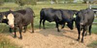 30 Angus Cross Cows w/ 20+ Calves... Southeast OK