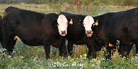 26 Angus Plus Bred Heifers... N. Central TX