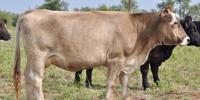 10 Reg. Braunvieh Cows... TX S. Plains