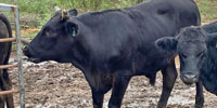 1 F1 Angus/Wagyu Slaughter-Ready Steer... Central TX