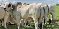 1 Reg. Brahman Bull... Southeast TX (1)