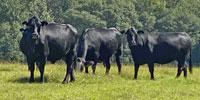 15 Brangus Cows... Central GA